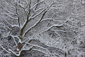 Winter scene with mature tree branches covered in snow, Herefordshire, England, UK, December 2010 - John Cancalosi