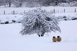 Two Sheep (Ovis aries) in snow covered field, Wales, UK, December 2010  -  John Cancalosi