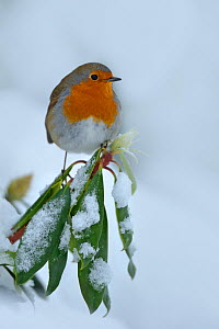 RF- European Robin (Erithacus rubecula) perched on snow covered branches, in garden, Wales, UK. December. (This image may be licensed either as rights managed or royalty free.) - Andy  Rouse