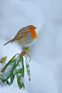 European Robin (Erithacus rubecula) perched on snow covered branches, in garden, Wales, UK. December - Andy Rouse