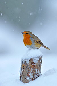 European Robin (Erithacus rubecula) perched on tree stump in garden with snow falling, Wales, UK. December - Andy Rouse