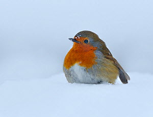 European Robin (Erithacus rubecula) standing in deep snow in garden, Wales, UK. December - Andy Rouse