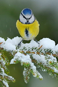 Blue Tit (Cyanistes caeruleus) perched on snow covered Fir tree (Abies) branch, in a garden, Wales, UK December - Andy Rouse