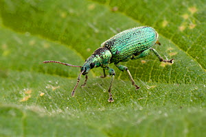 Nettle weevil (Phyllobius pomaceus) on leaf of Stinging nettle (Urtica dioica) Hertfordshire,  England, UK, April - Andy Sands