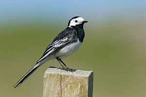 Pied wagtail (Motacilla alba yarrellii) male perched on fence post, Isle of Coll, Scotland, UK, June  -  Andy Sands