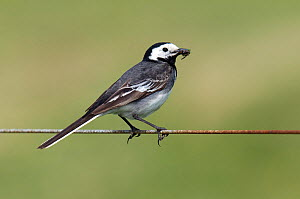 Pied wagtail (Motacilla alba yarrellii) adult perched with insect prey on wire fence, Isle of Coll, Scotland, UK, June  -  Andy Sands