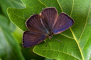 Purple Hairstreak (Neozephyrus quercus male with wings open, Captive, England, UK, July  -  Andy Sands