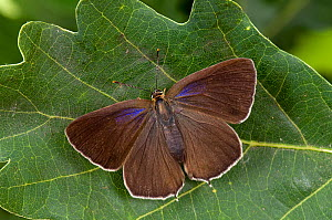 Purple Hairstreak (Neozephyrus quercus female with wings open, Captive,  England, UK, July  -  Andy Sands