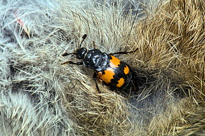 Sexton / Burying Beetle (Nicrophorus vespilloides) on dead rabbit with mites, Upper Teesdale, Co. Durham,  England, UK, June  -  Andy Sands