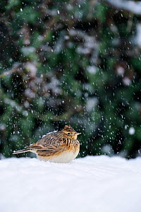 Skylark (Alauda arvensis) attracted to feed below seed feeders in a garden after heavy snowfall covering its naturally occuring food supply, Berwickshire. Scotland, December 2010  -  Laurie Campbell