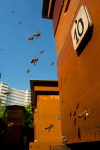 Honey bees (Apis mellifera) flying through the city. Paris, France  -  Laurent Geslin
