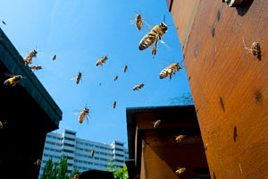 Honey bees (Apis melifera) flying in city. Paris, France  -  Laurent Geslin
