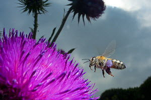 Honey bee (Apis mellifera) hovering over a purple flower. Paris, France  -  Laurent Geslin