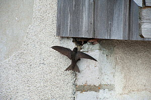 Common swift (Apus apus) nesting on a wall, France  -  Laurent Geslin