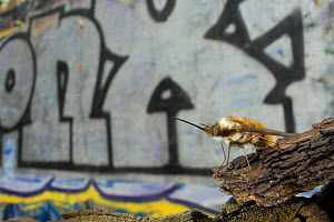 Common bee fly (Bombylius major) on bark in urban park, Paris, France  -  Laurent Geslin