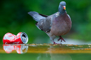Wood pigeon (Columba palumbus) standing by a discarded coke can in Paris, France - Laurent Geslin