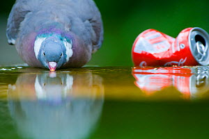 Wood pigeon (Columba palumbus) drinking beside a discarded coke can in Paris, France  -  Laurent Geslin