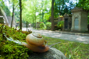 White lipped snail (Cepaea hortensis) crawling on a mossy stone beside a path in Paris, France  -  Laurent Geslin