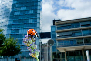 Seven-spot ladybird (Coccinella septempunctata) on a lavender flowerhead in a park, with buildings behind. Neuchatel, Switzerland  -  Laurent Geslin