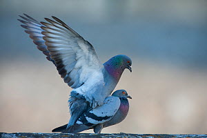 Male Feral pigeon with wings spread (Columba livia) mating with female,  Paris, France - Laurent Geslin