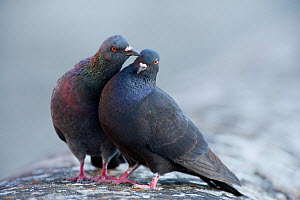 Male Feral pigeon (Columba livia) touching female with his beak. Paris, France  -  Laurent Geslin
