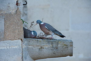 Wood pigeons (Columba palumbus) nesting in a stone gutter in Paris, France  -  Laurent Geslin