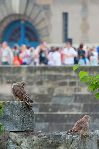 Two Kestrels (Falco tinnunculus) on a stone wall in Paris, with tourists in the background. France - Laurent Geslin