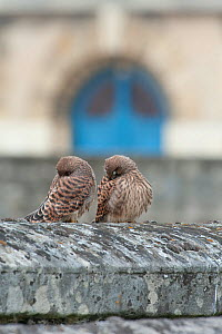 Two juvenile Kestrels (Falco tinnunculus) on a wall, hiding their faces in their wings. Paris, France  -  Laurent Geslin