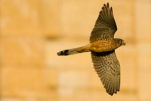 Kestrel (Falco tinnunculus) in flight, wings spread. Paris, France  -  Laurent Geslin