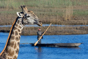 Giraffe (Giraffa camelopardalis) with man paddling boat in the background. Botswana, winter  -  Laurent Geslin