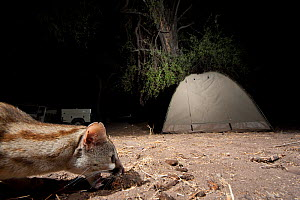 Small spotted genet (Genetta genetta) in a tourist camp at night. Botswana - Laurent Geslin