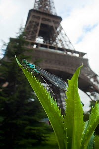 Blue-tailed damselfly (Ischnura elegans) on leaf in front of the Eiffel tower, Paris, France.  -  Laurent Geslin