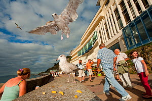 Herring gull (Larus argentatus) swooping down to feed on chips in a busy seaside resort, France  -  Laurent Geslin