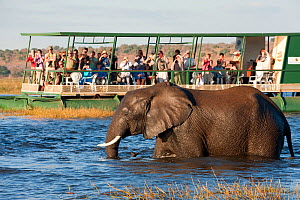 African elephant (Loxodonta africana) wading in water with a group of tourists on a riverboat, watching in the background. Botswana - Laurent Geslin