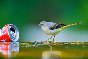 Grey wagtail (Motacilla cinerea) next to discarded coke can. Paris, France  -  Laurent Geslin