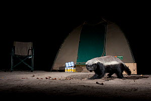 Ratel / Honey badger (Mellivora capens) in campsite at night, Moremi National Park, Khwai, northwest Botswana, Southern Africa  -  Laurent Geslin