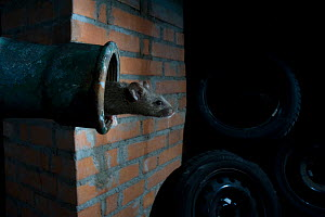 House mouse (Mus musculus) emerging from pipe in garage, at night, Captive. Switzerland  -  Laurent Geslin