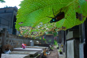 Garden Foliage / Chafer Beetle (Phyllopertha horticola) on leaf in graveyard, Paris, France  -  Laurent Geslin