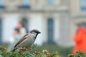 Male Common Sparrow (Passer domesticus) perched in Yew (Taxus baccata) hedge, in an urban park, Paris, France, April - Laurent Geslin