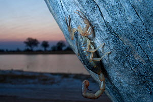 Scorpion on tree trunk before sunrise, with lake behind, Chobe National Park, Botswana, Southern Africa, August  -  Laurent Geslin