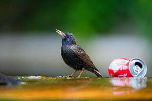Starling (Sturnus vulgaris) drinking at edge of pond, with discarded coke can, Paris, France, June  -  Laurent Geslin