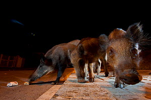 Urban Wild boar (Sus scrofa) searching for food in on the streets at night, Barcelona, Spain, August  -  Laurent Geslin