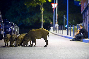 Young man watches Wild boar family (Sus scrofa) searching for food on a street in Barcelona, Spain  -  Laurent Geslin