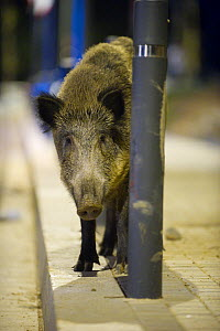 Wild boar (Sus scrofa) standing by a lamppost at night in Barcelona, Spain  -  Laurent Geslin