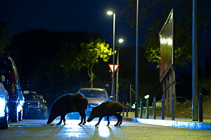 Adult and young Wild boars (Sus scrofa) searching for food at night on a street in Barcelona, Spain - Laurent Geslin