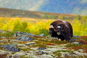 Muskox (Ovibos moschatus) on the tundra in autumn, Dovrefjell NP, Norway, September 2008  -  Juan Carlos Munoz