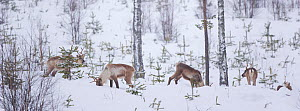 Herd of wild Reindeer (Rangifer tarandus) grazing in thick snow among young spruce trees in Taiga woodland, Lappland, Finland, March 2007  -  Juan Carlos Munoz