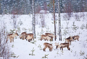 Herd of wild Reindeer (Rangifer tarandus) grazing in snow among young spruce trees in Taiga woodland, Lappland, Finland, March 2007  -  Juan Carlos Munoz