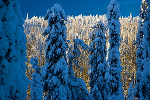 Coniferous trees laden with snow in Taiga woodland, Lappland, Finland, March 2007  -  Juan Carlos Munoz