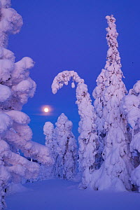 Coniferous trees laden with snow in Taiga woodland with moon in background, Lappland, Finland, March 2007 - Juan Carlos Munoz